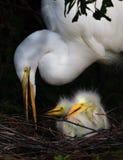 Twee weinig kuikens van de dag oude aigrette in nest met Mamma Royalty-vrije Stock Afbeelding