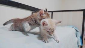 Twee weinig witte potkatjes spelen het vechten op de bed grappige video witte katten twee beet van de katjes de speelslaap elk stock videobeelden