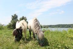 Twee Welse poneys die gras eten stock foto's