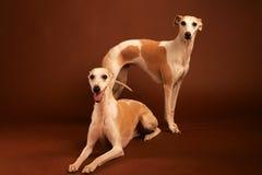 Twee Whippetten Royalty-vrije Stock Foto's