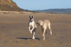 Twee whippetten die langs de kust lopen Stock Fotografie