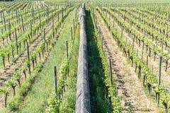 Twee wijngaarden met eindeloze die rijen van wijnstokken door een lange rotsmuur worden gescheiden stock foto's