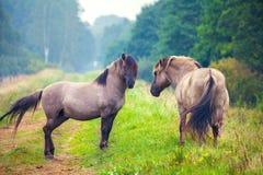 Twee wild paarden Stock Afbeelding