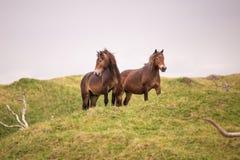 Twee wild paarden die zich op het Nederlandse eiland van texel bevinden stock afbeeldingen