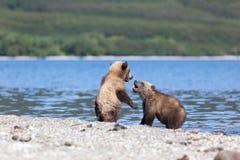 Twee wilde bruin draagt welpenspel door het meer stock foto