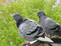 Twee wilde duiven Stock Afbeeldingen
