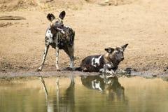 Twee wilde hondenrust naast een waterhole om water te drinken Stock Foto's