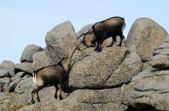 Twee wilde mannetjes tussen rotsen Royalty-vrije Stock Foto