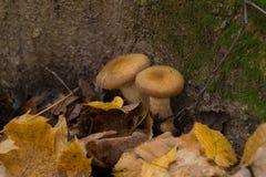 Twee wilde paddestoelen in een bos stock foto's