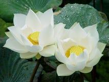 Twee Wit Lotus royalty-vrije stock afbeelding