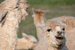 Twee witte alpacas die als hun het lachen kijken stock fotografie