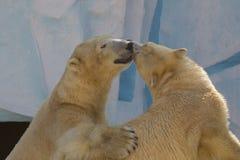 Twee witte beren kussen Royalty-vrije Stock Fotografie