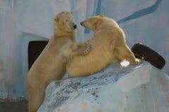 Twee witte beren spelen Stock Foto's