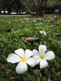 Twee Witte Bloemen Stock Foto's