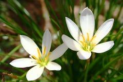 Twee witte bloemen in bloei Royalty-vrije Stock Foto's