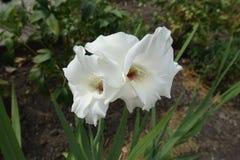 Twee witte bloemen van Gladiolen stock afbeeldingen