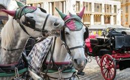 Twee witte die paarden aan een vervoer, Wenen worden uitgerust Royalty-vrije Stock Foto's