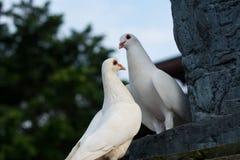 Twee Witte Duiven Stock Foto's