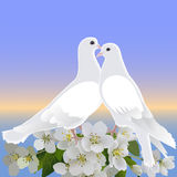 Twee witte duiven en tak van tot bloei komende appelboom Stock Foto's