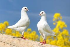 Twee witte duiven op toppositie royalty-vrije stock afbeelding