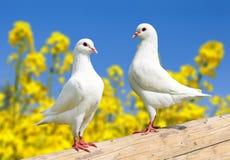 Twee witte duiven op toppositie stock fotografie
