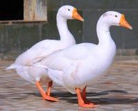 Twee witte eenden Royalty-vrije Stock Afbeelding