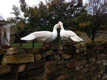 Twee witte eenden Stock Afbeelding
