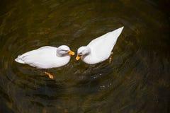 Twee Witte eenden in de vijver Royalty-vrije Stock Afbeeldingen