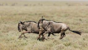 Twee Witte Gebaarde Wildebeest die in Ndutu, Serengeti, Tanzania lopen Stock Afbeelding