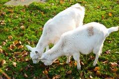 Twee witte geiten Stock Afbeelding
