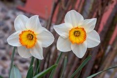 Twee witte gele narcissen met een geel centrum nasals stock afbeelding