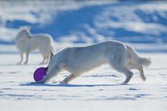 Twee witte honden die op de winterachtergrond spelen Stock Foto's