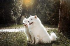 Twee witte honden die op het gras na het runnen van vooruitstekende tong rusten royalty-vrije stock foto's
