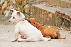 Twee witte honden plaagden elkaar Stock Foto's