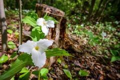 Twee Witte Horizontale Trilliums Stock Fotografie