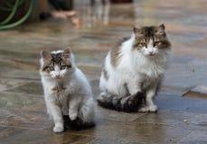 Twee witte katten die op de grond zitten Royalty-vrije Stock Fotografie