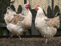 Twee witte kippen Stock Foto's