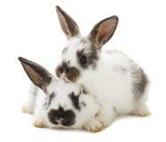 Twee witte konijnen Royalty-vrije Stock Foto's