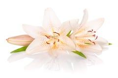 Twee witte leliebloemen Royalty-vrije Stock Foto's