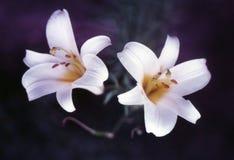 Twee Witte Lelies Royalty-vrije Stock Afbeeldingen