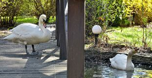 Twee witte mooie zwanen dichtbij vijver Stock Afbeeldingen