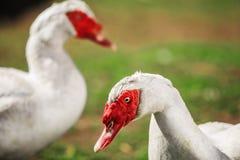 Twee witte Muscovy vogel met rode acacia's op weide Stock Afbeeldingen