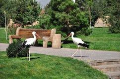 Twee witte ooievaars Stock Afbeelding