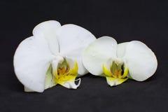 Twee witte orchideebloesems op zwarte achtergrond royalty-vrije stock foto's