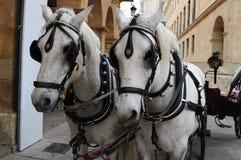 Twee witte paarden Royalty-vrije Stock Afbeeldingen