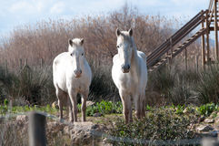 Twee witte paarden Royalty-vrije Stock Afbeelding