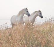 Twee witte paarden Stock Foto
