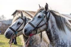 Twee witte paarden Royalty-vrije Stock Foto