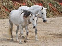 Twee witte paarden Stock Afbeelding