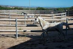 Twee witte paarden binnen een staaf stock afbeeldingen